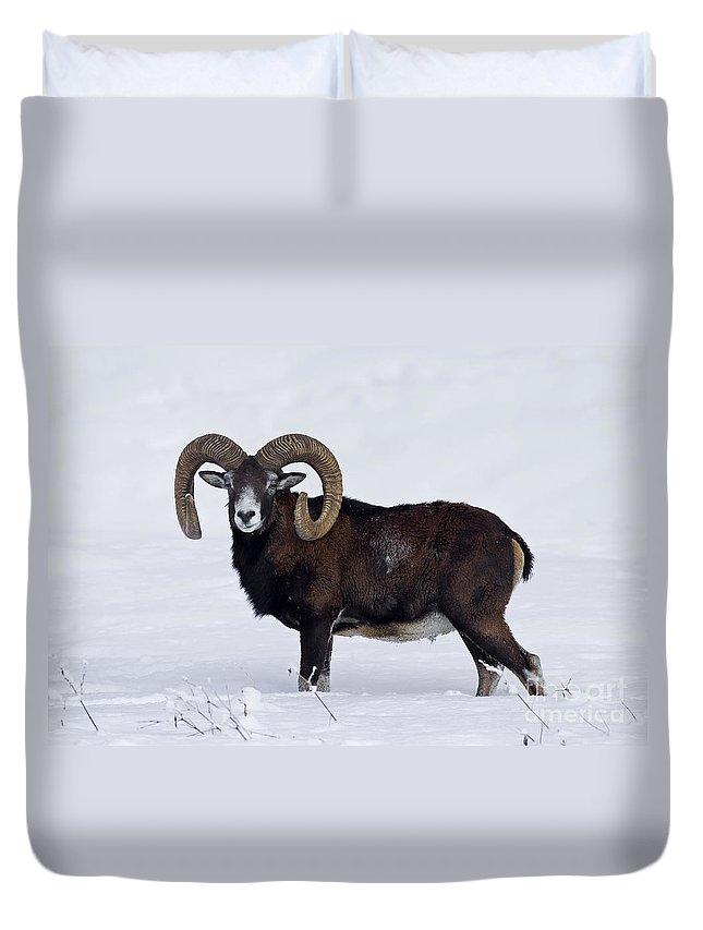 European Mouflon Duvet Cover featuring the photograph 110714p275 by Arterra Picture Library