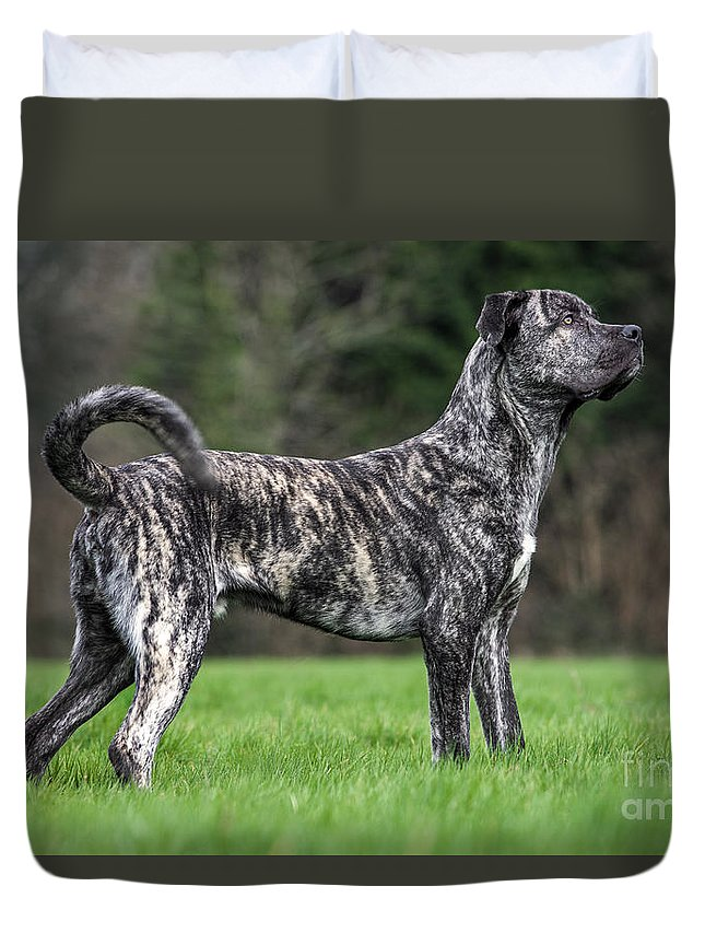 Cane Corso Duvet Cover featuring the photograph 140221p267 by Arterra Picture Library