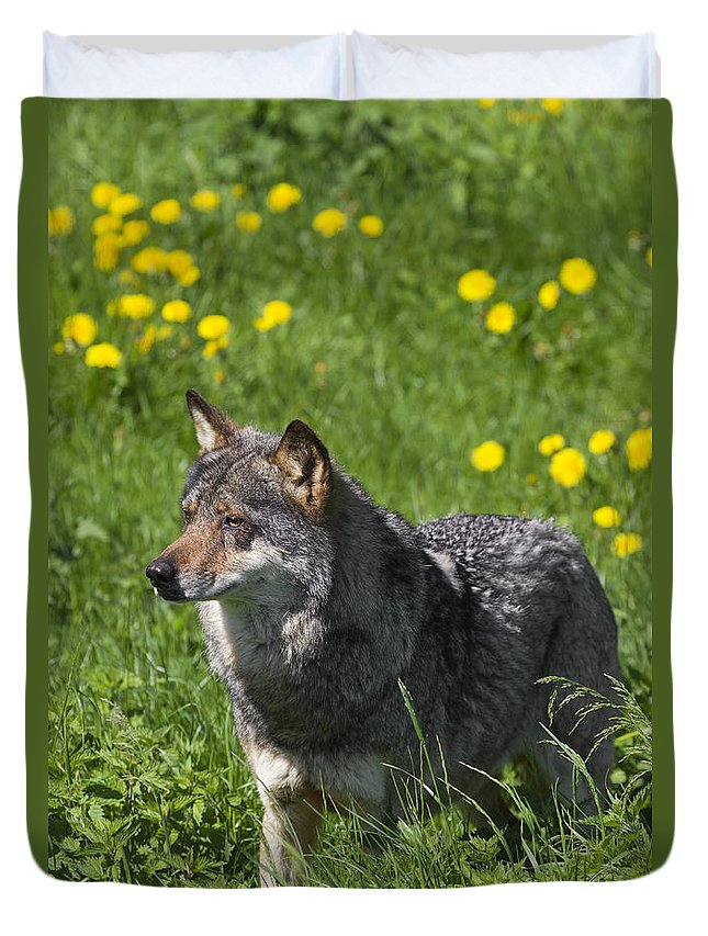 European Wolf Duvet Cover featuring the photograph 140314p087 by Arterra Picture Library