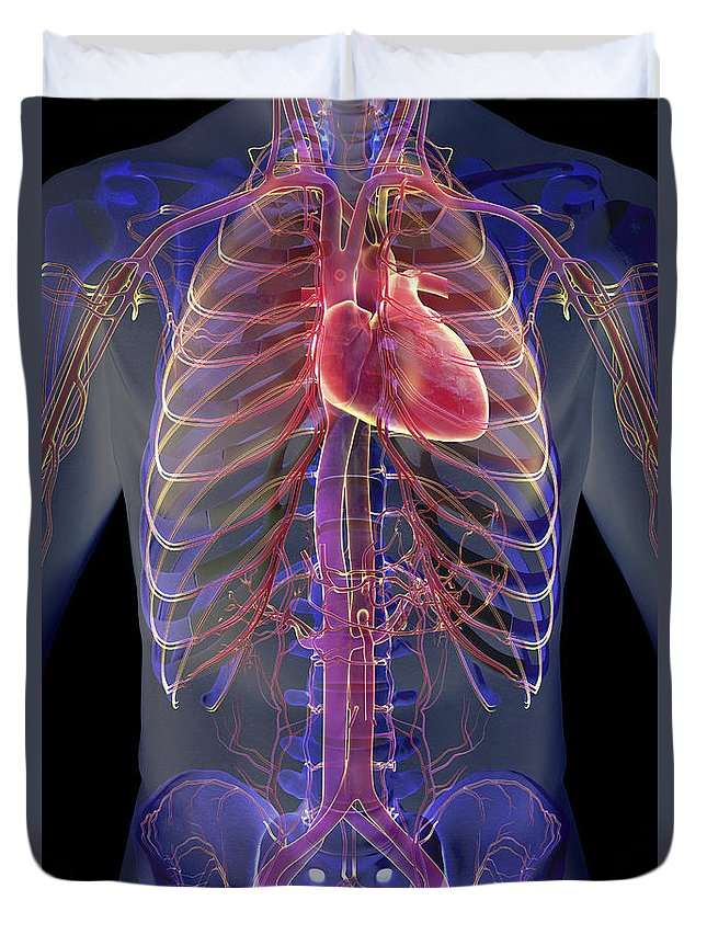 Inferior Vena Cava Duvet Cover featuring the photograph The Cardiovascular System by Science Picture Co
