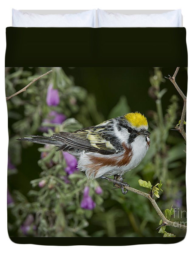 Chestnut-sided Warbler Duvet Cover featuring the photograph Chestnut-sided Warbler by Anthony Mercieca
