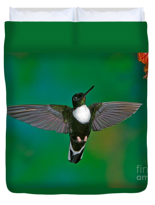 Animal Duvet Cover featuring the photograph Collared Inca Hummngbird by Anthony Mercieca