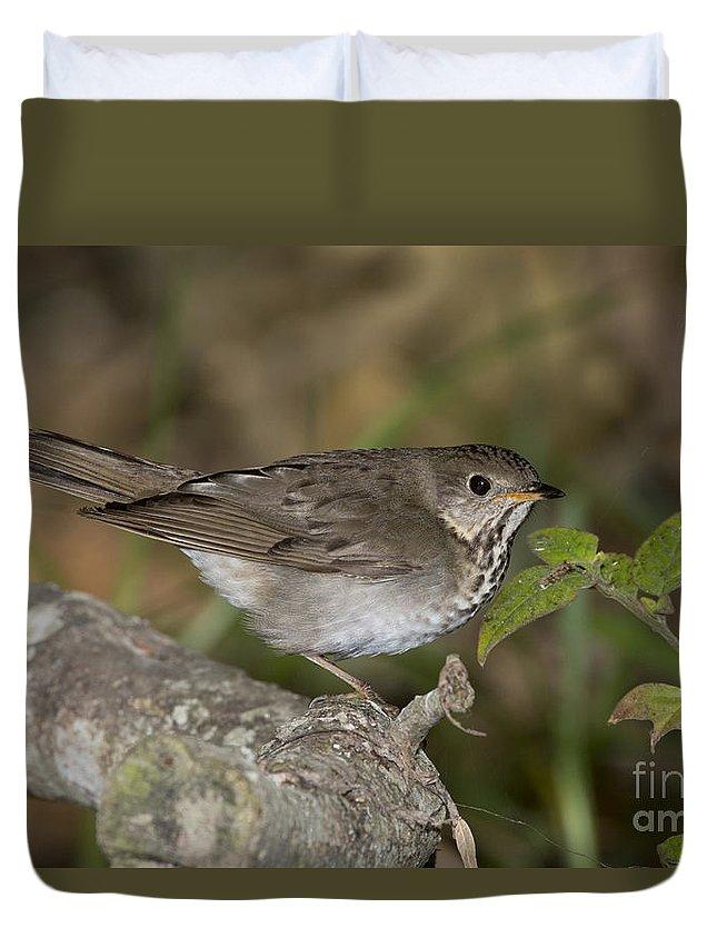 Gray-cheeked Thrush Duvet Cover featuring the photograph Gray-cheeked Thrush by Anthony Mercieca