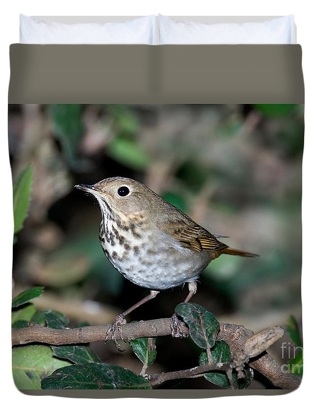 Fauna Duvet Cover featuring the photograph Hermit Thrush by Anthony Mercieca