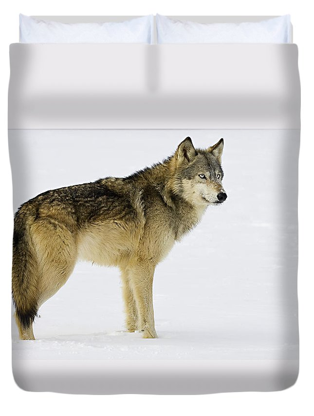 Wolf Duvet Cover featuring the photograph Ready by Jack Milchanowski