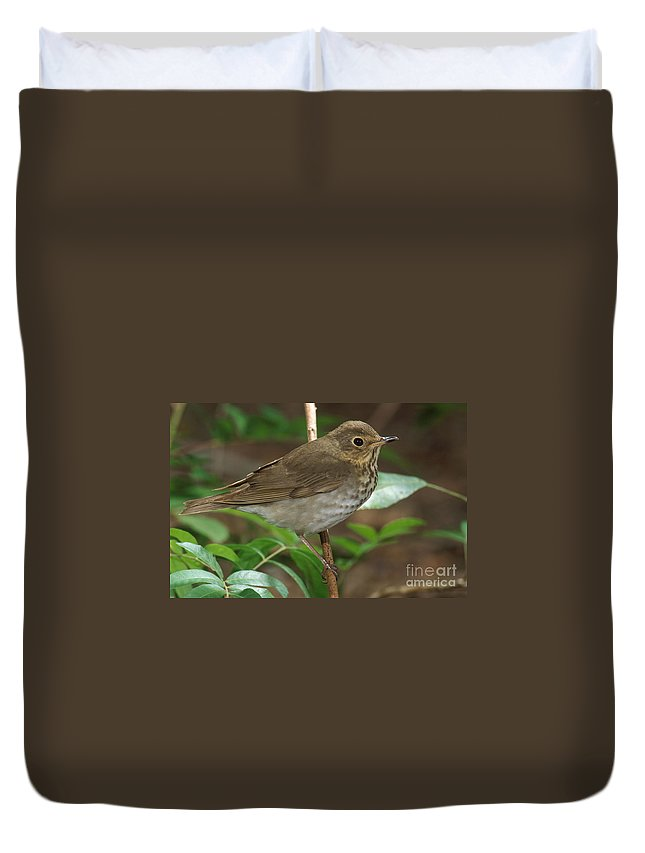 Animal Duvet Cover featuring the photograph Swainsons Thrush by Anthony Mercieca