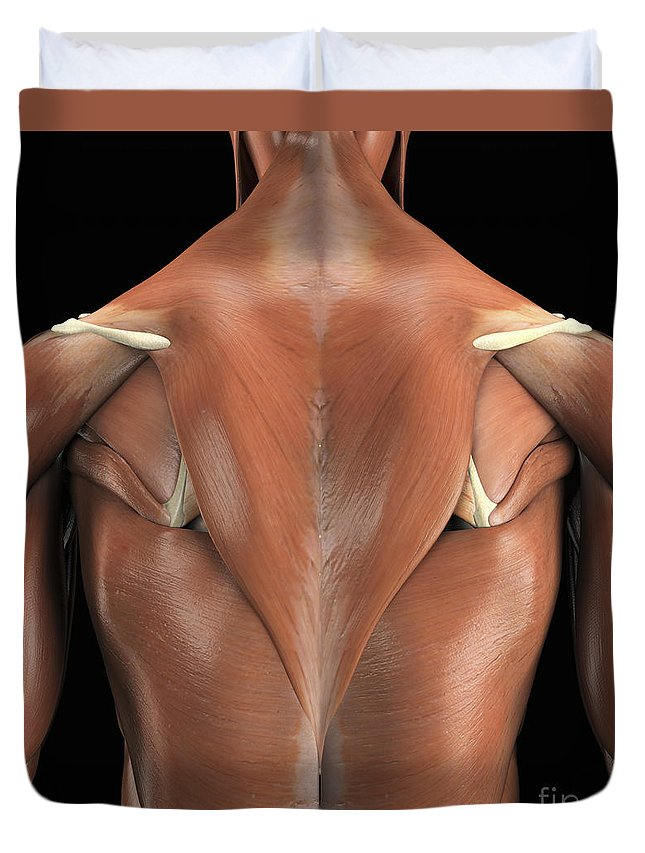 Square Image Duvet Cover featuring the photograph The Muscles Of The Back by Science Picture Co