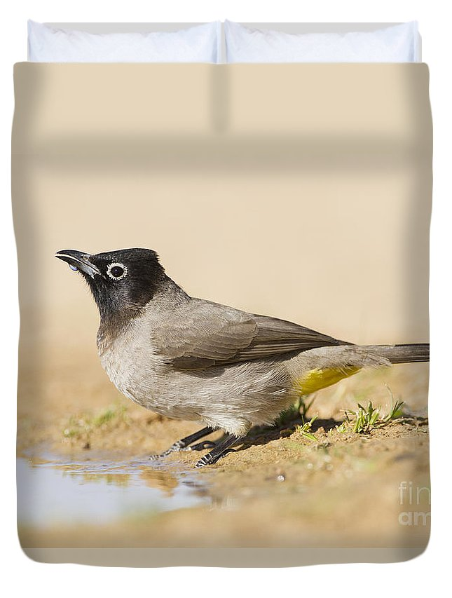Ornithology Duvet Cover featuring the photograph Yellow-vented Bulbul Pycnonotus Xanthopygos by Eyal Bartov