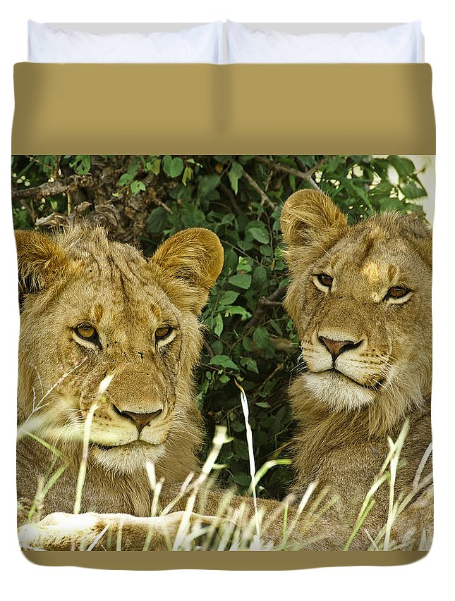 Lion Duvet Cover featuring the photograph Young Brothers by Michele Burgess