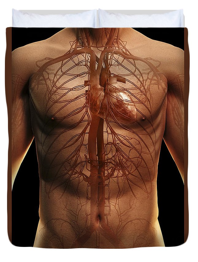 Upper Body Duvet Cover featuring the photograph The Cardiovascular System by Science Picture Co
