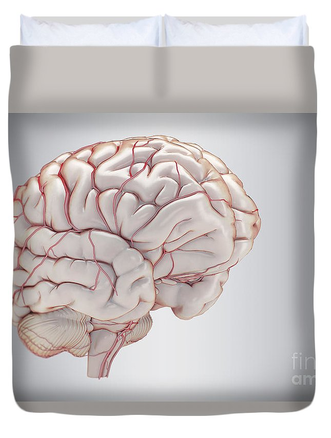 Blood Vessels Duvet Cover featuring the photograph Brain With Blood Supply by Science Picture Co