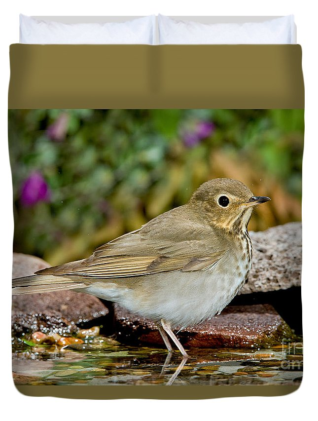 Fauna Duvet Cover featuring the photograph Swainsons Thrush by Anthony Mercieca