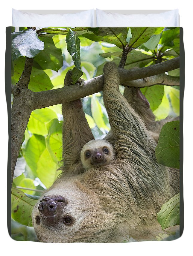 Suzi Eszterhas Duvet Cover featuring the photograph Hoffmanns Two-toed Sloth And Old Baby by Suzi Eszterhas