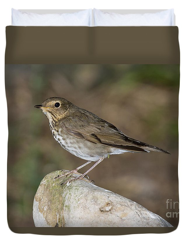 Swainson's Thrush Duvet Cover featuring the photograph Swainsons Thrush by Anthony Mercieca