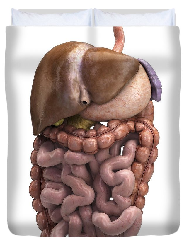 Abdominal Duvet Cover featuring the photograph The Digestive System by Science Picture Co