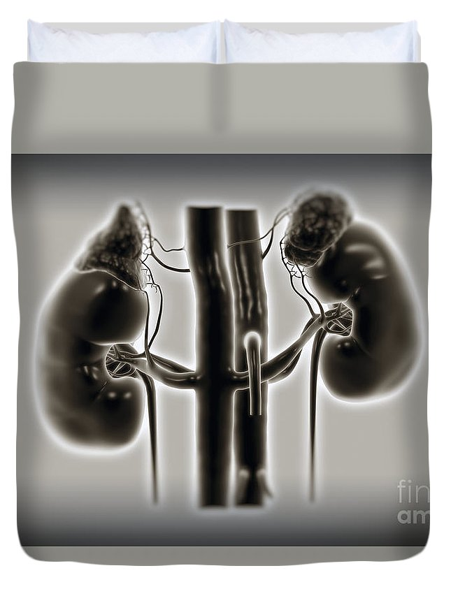 Digitally Generated Image Duvet Cover featuring the photograph Kidneys And Adrenal Glands by Science Picture Co