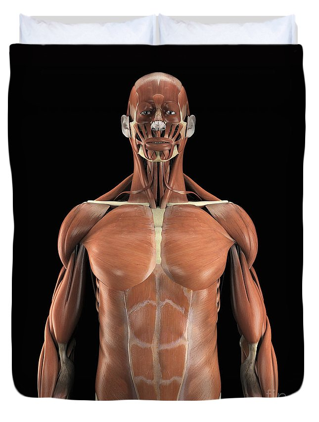 Abdominal Duvet Cover featuring the photograph Muscles Of The Upper Body by Science Picture Co