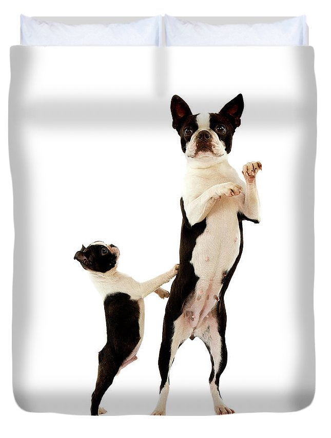 Adult Duvet Cover featuring the photograph Boston Terrier by Gerard Lacz