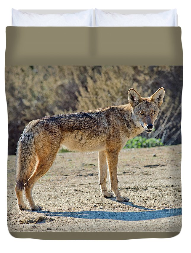 Animal Vertebrate Duvet Cover featuring the photograph Alert Coyote by Anthony Mercieca