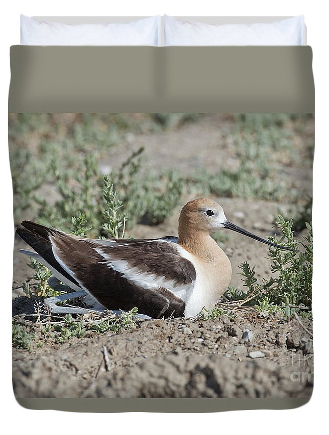 American Avocet Duvet Cover featuring the photograph American Avocet On Eggs by Anthony Mercieca