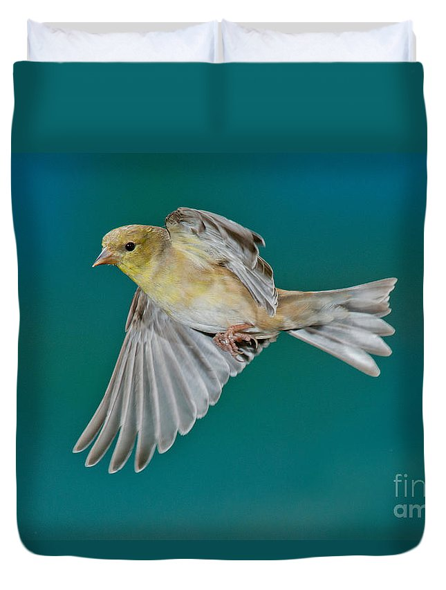 Carduelis Tristis Duvet Cover featuring the photograph American Goldfinch Hen In Flight by Anthony Mercieca