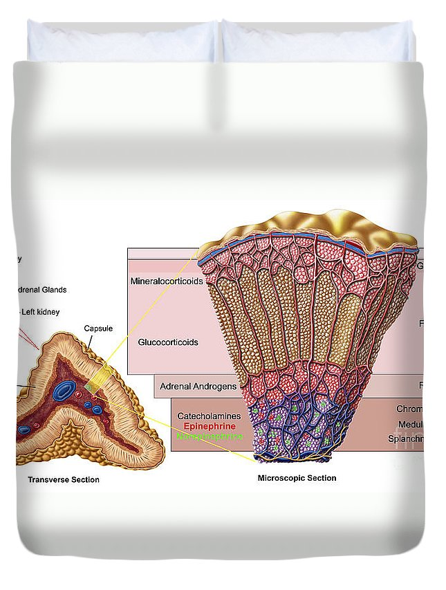 Anatomy Of Adrenal Gland Cross Section Duvet Cover For Sale By