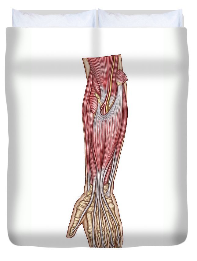 Vertical Duvet Cover featuring the digital art Anatomy Of Forearm Muscles, Anterior by Stocktrek Images