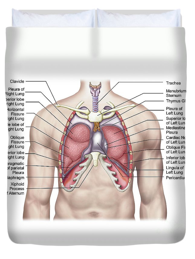 Anatomy Of Human Lungs In Situ Duvet Cover For Sale By Stocktrek Images