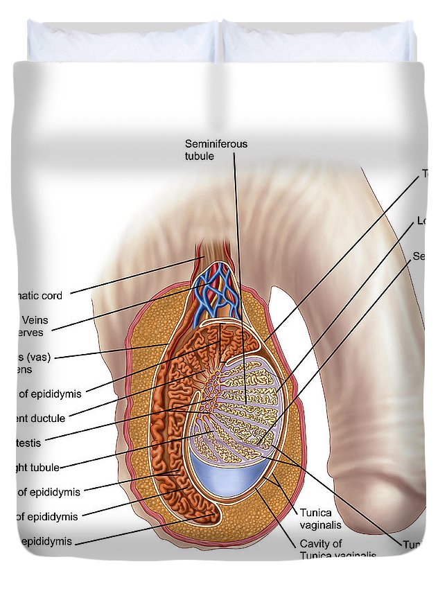 Anatomy Of Male Testis Duvet Cover For Sale By Stocktrek Images