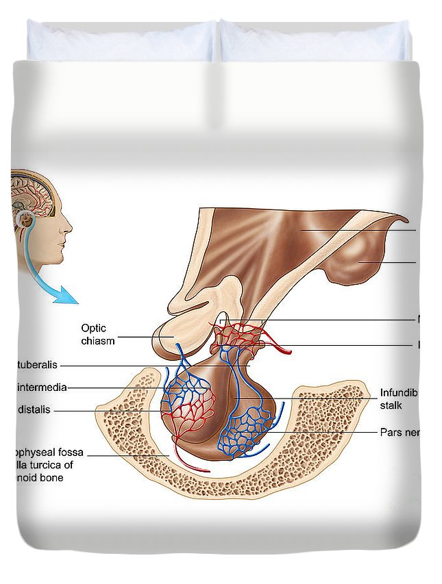 Anatomy Of Pituitary Gland Duvet Cover For Sale By Stocktrek Images