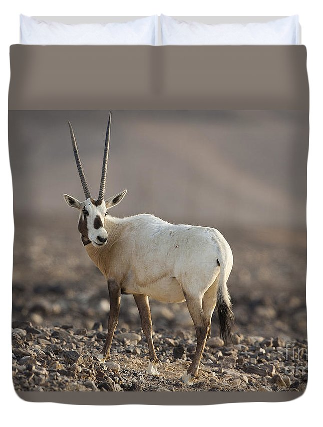 Herd Duvet Cover featuring the photograph Arabian Oryx Oryx Leucoryx by Eyal Bartov