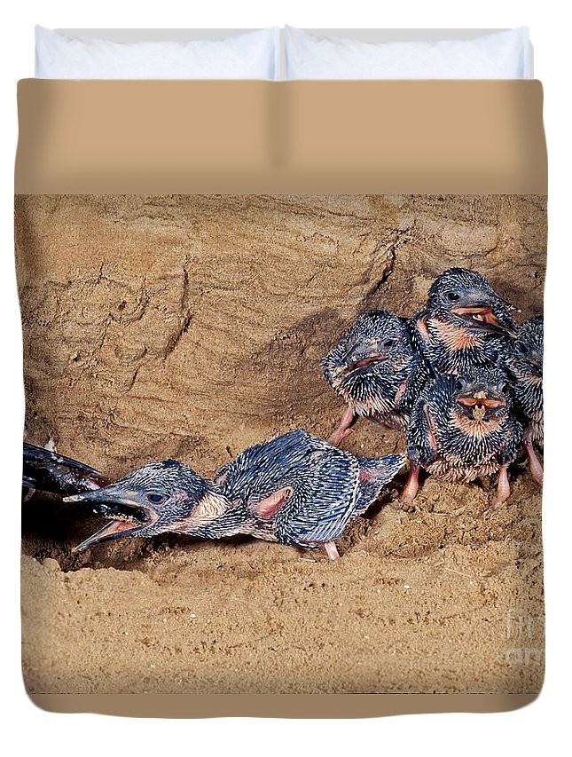 Belted Kingfisher Duvet Cover featuring the photograph Belted Kingfisher Feeds Young by Anthony Mercieca