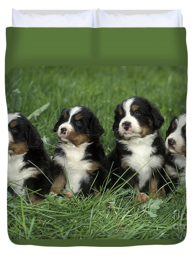 Dogs Duvet Cover featuring the photograph Bernese Mountain Puppies by Rolf Kopfle