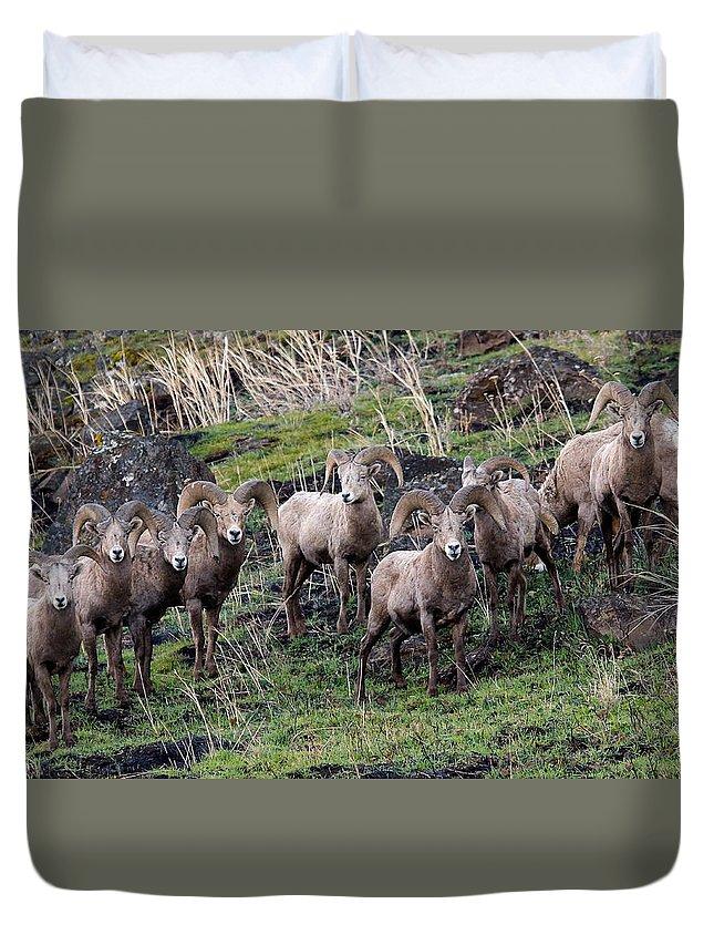 Bighorn Sheep Duvet Cover featuring the photograph Bighorn Reunion by Steve McKinzie