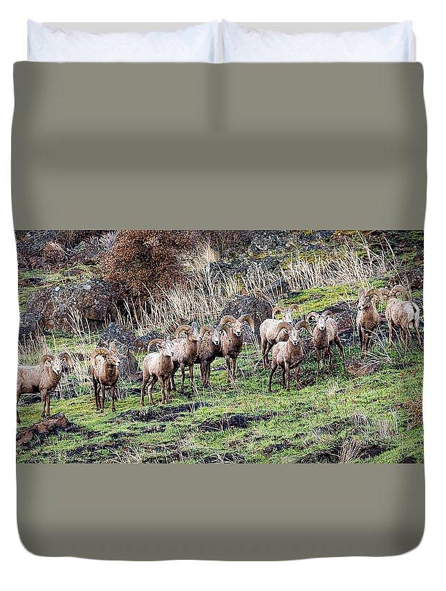 Bighorn Sheep Duvet Cover featuring the photograph Bighorn Row by Steve McKinzie