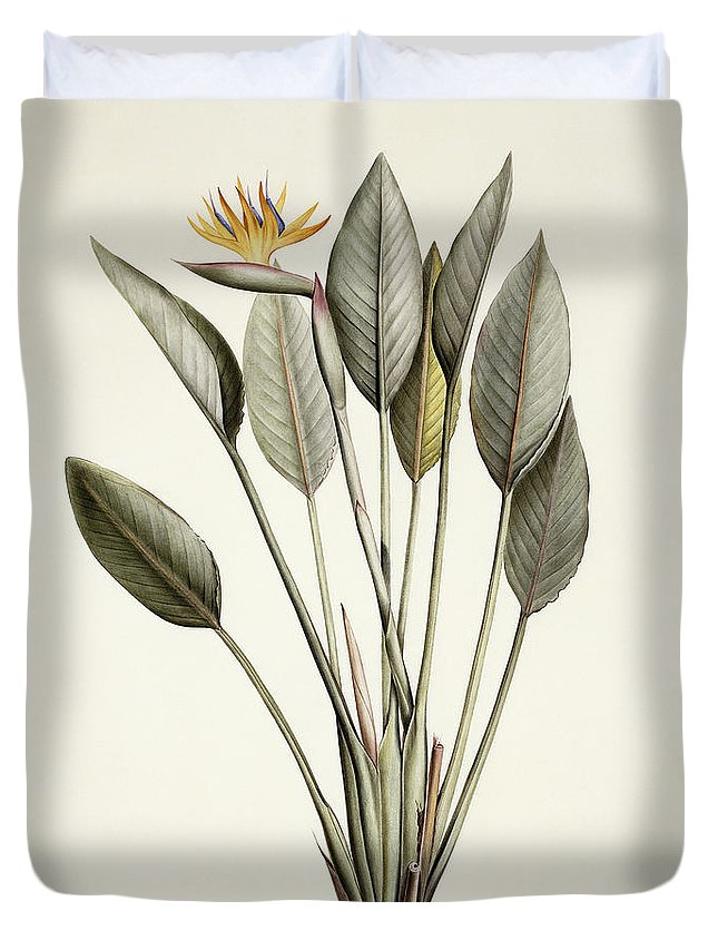19th Century Duvet Cover featuring the painting Bird Of Paradise by Pierre Joseph Redoute