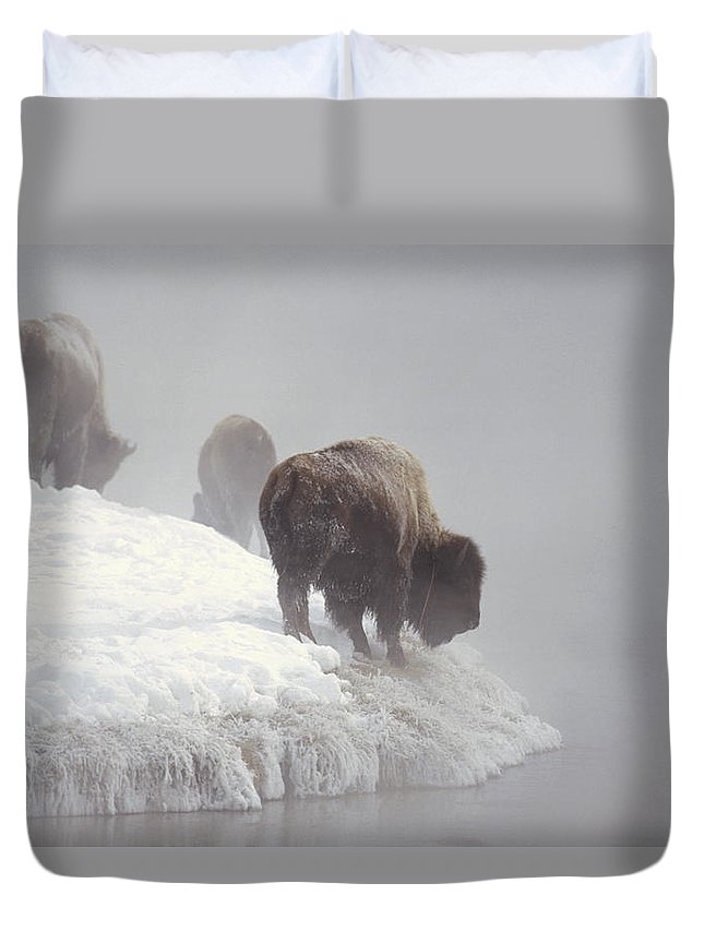Feb0514 Duvet Cover featuring the photograph Bison Along Snowy Riverbank Yellowstone by Konrad Wothe