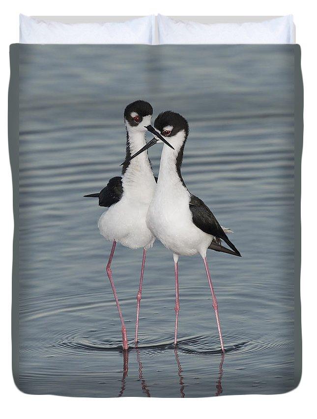 Black-necked Stilt Duvet Cover featuring the photograph Black-necked Stilts by Anthony Mercieca