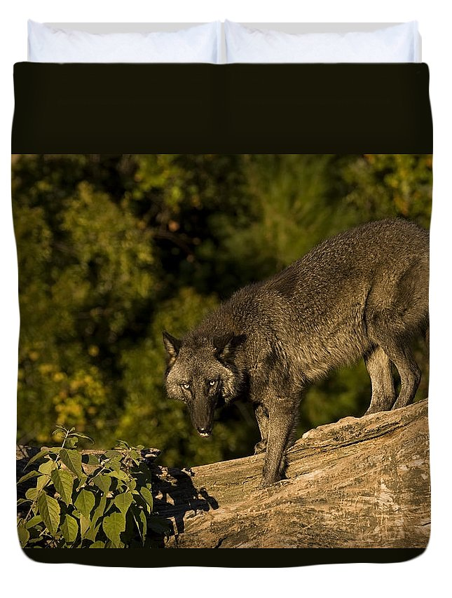 Wolf Duvet Cover featuring the photograph Blackie by Jack Milchanowski