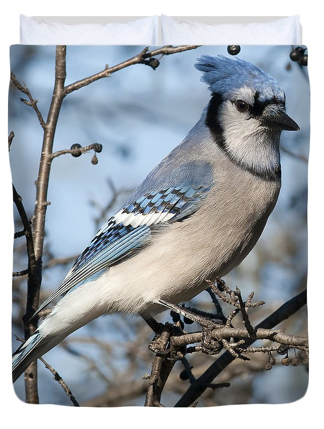 Festblues Duvet Cover featuring the photograph Blue Jay.. by Nina Stavlund