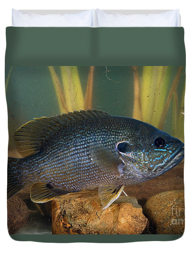 Animal Duvet Cover featuring the photograph Bluegill Lepomis Macrochirus by Anthony Mercieca