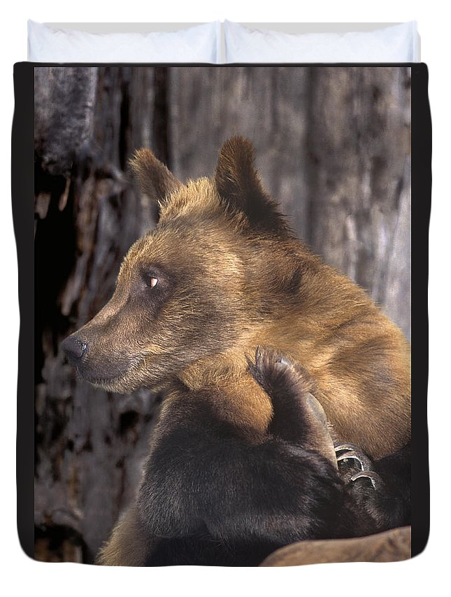 Brown Bear Duvet Cover featuring the photograph Brown Bear Tackles An Itchy Foot Endangered Species Wildlife Rescue by Dave Welling
