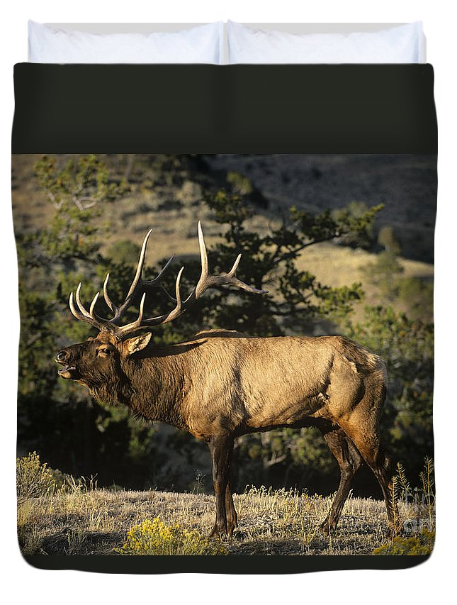 North America Duvet Cover featuring the photograph Bull Elk In Rut Bugling Yellowstone National Park by Dave Welling
