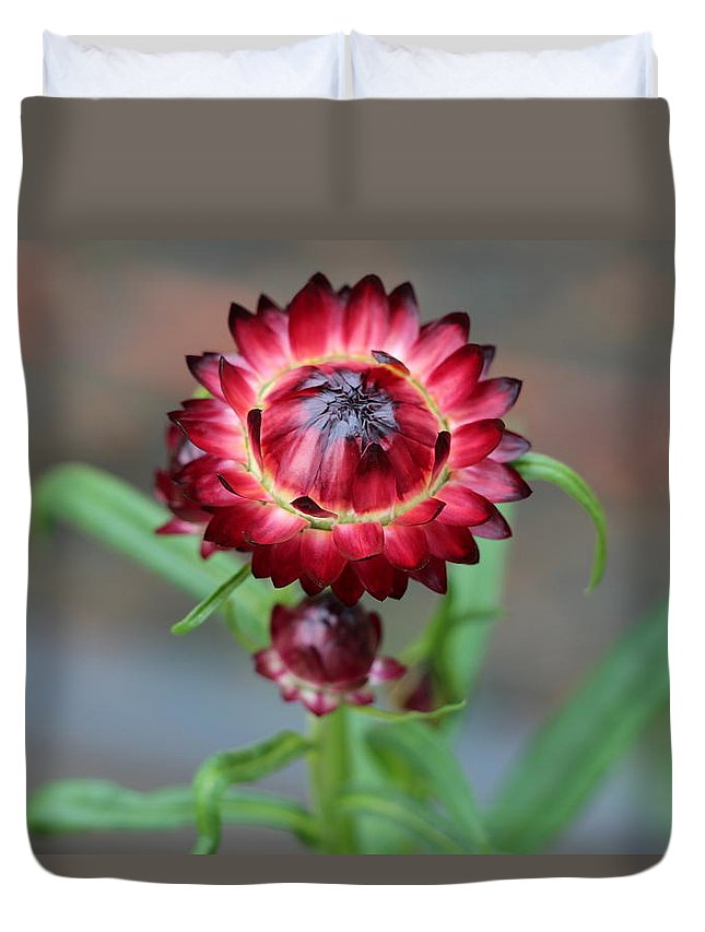 Burgundy Straw Flower Plant Flora Green Leaves Tall Landscape Garden Flowerbed Visual Fragrance Perfume Spring Summer Red Purple Shiny Duvet Cover featuring the photograph Burgundy Straw Flower by Ken Pagliaro