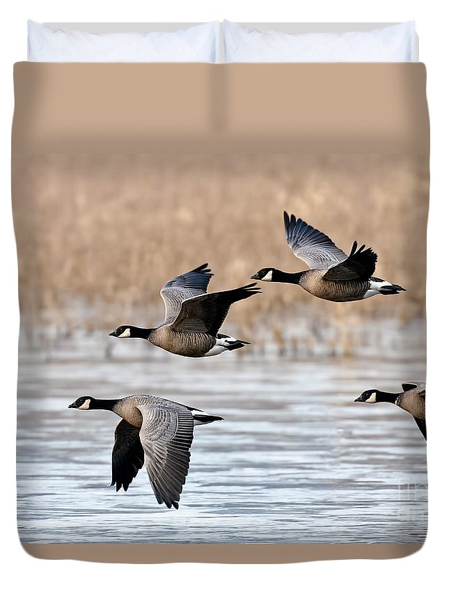 Cackling Goose Duvet Cover featuring the photograph Cackling Geese Flying by Anthony Mercieca