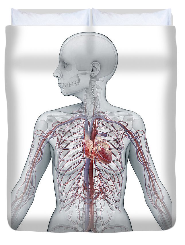 Inferior Vena Cava Duvet Cover featuring the photograph Cardiovascular System Female by Science Picture Co