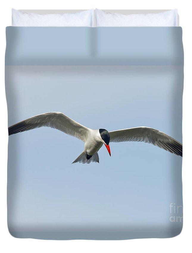 Caspian Tern Duvet Cover featuring the photograph Caspian Tern by Anthony Mercieca