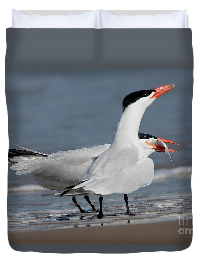 Animal Duvet Cover featuring the photograph Caspian Tern Giving Fish To Mate by Anthony Mercieca