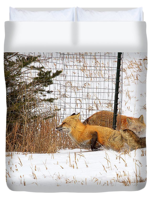 Red Fox Photograph; Red Fox Chase Photograph; Red Fox Chase Canvas Print Duvet Cover featuring the photograph Catch Me If You Can by Jim Garrison