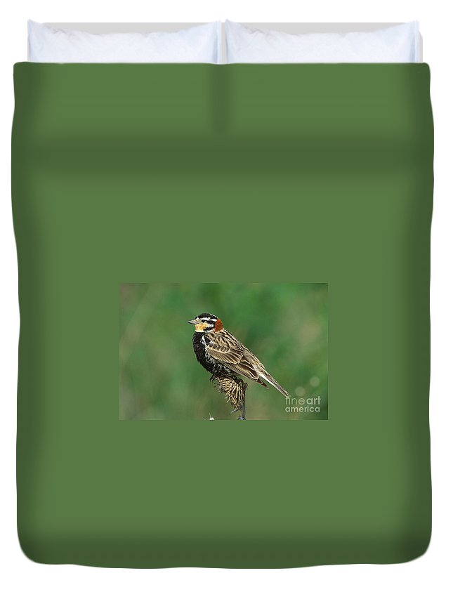 Animal Duvet Cover featuring the photograph Chestnut-collared Longspur by Anthony Mercieca